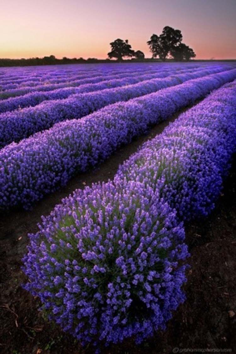 Halcyon Days: Lavender Dreams  Halcyon Days: L...
